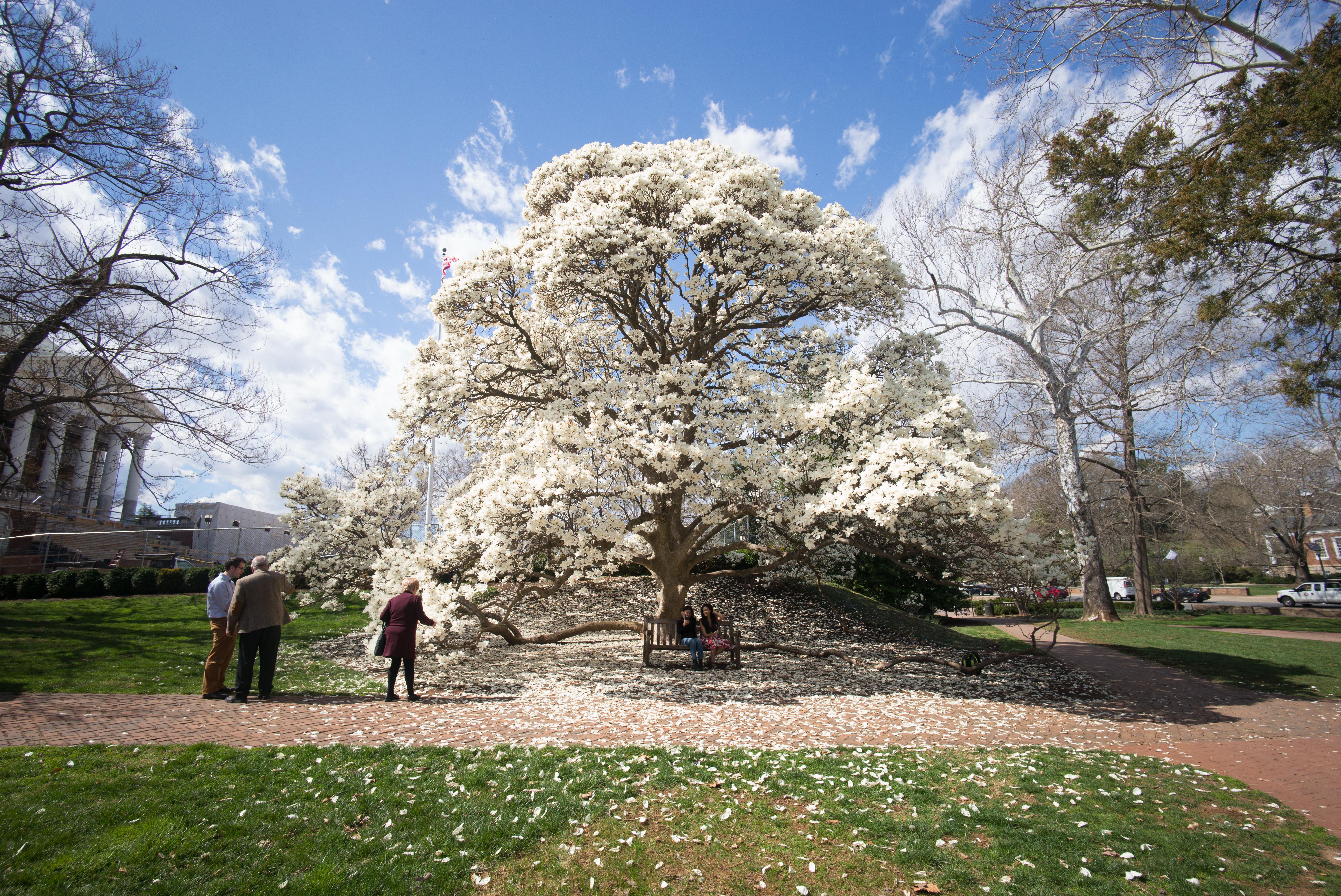Magnolia Spring